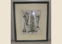 Bessler- Frittilaria Persica